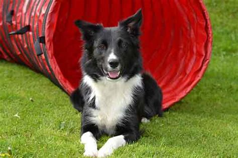 Do Collies Shed by Is Border Collie Shedding Really That Big A Problem