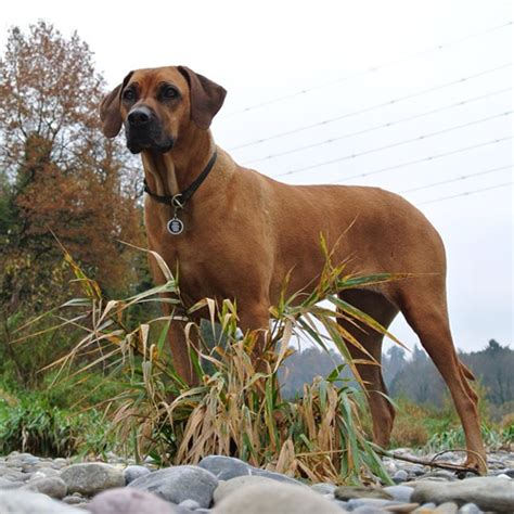 Do Rhodesian Ridgeback Shed by Breeds That Bark The Most Animals Breeds Picture