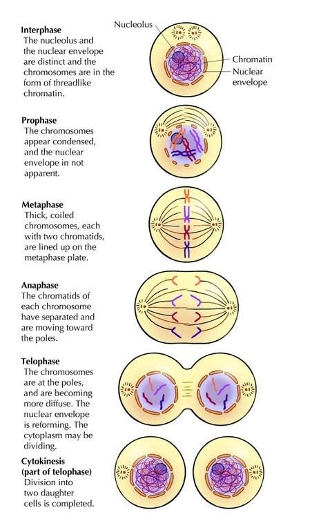 diagram with division stages of meiosis diagram 28 images mitosis on identify the stages of meiosis on the