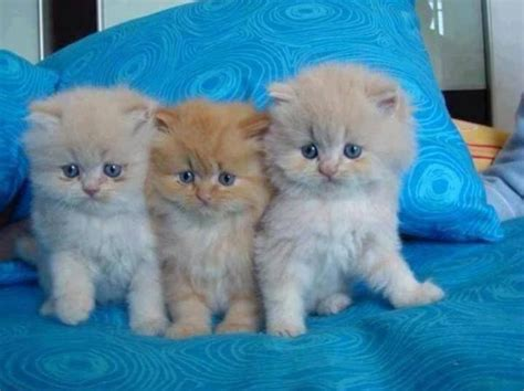 three cute kittens 3 cute fluffy kittens animals pinterest