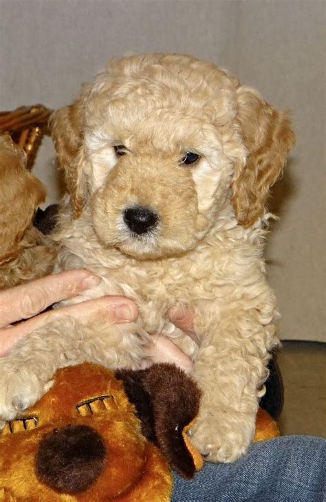 goldendoodle puppy crate 25 best ideas about goldendoodle miniature on