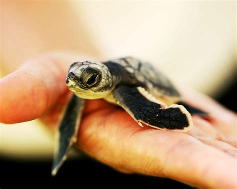 18 Cute Pictures of Baby Turtles
