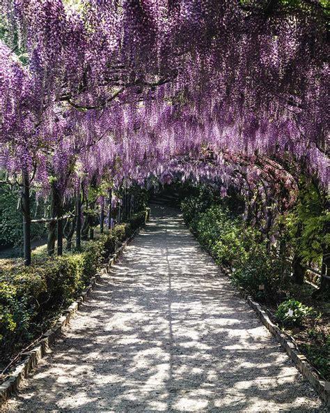 glicine in fiore glicine in fiore a villa bardini