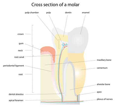 cross section of tooth specialist team