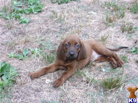 coonhound puppies for sale redbone coonhound puppy for sale redbone coonhound puppies for sale 5 years