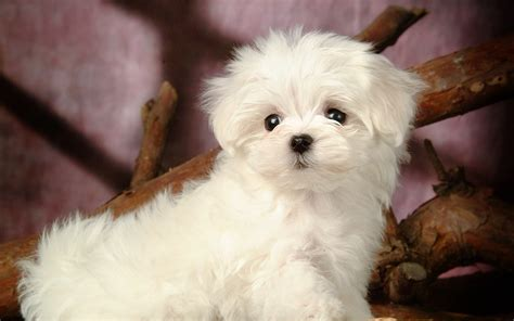 maltese puppies how to care for a maltese
