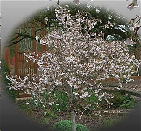 28 best twisted cherry tree catalog photograph detail little twist cherry spring grove
