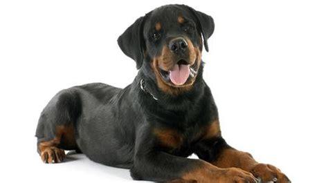 cesar rottweiler pastor alem 225 n y 13 razas de perros muy inteligentes telemundo