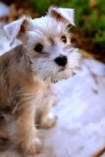 top 10 best hypoallergenic dog breeds animals pinterest