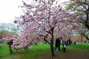 mille fiori favoriti cherry blossom time at the brooklyn botanic garden