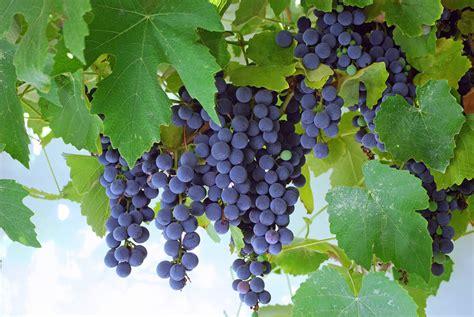 food faith and fellowship concord grape pie