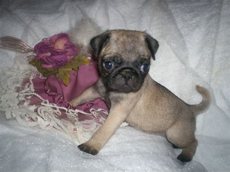 pug puppies in va my special friend kennel a k c beagles in virginia pug pugs pug puppies puggle