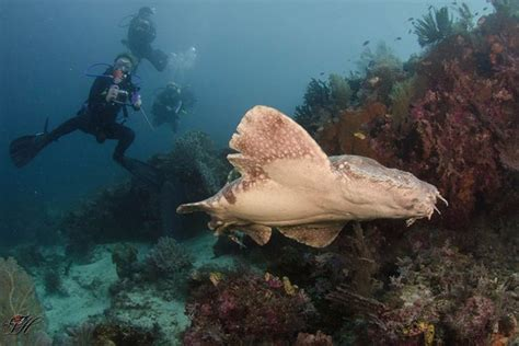 dive raja at wobbegong one of the many amazing creatures in raja at