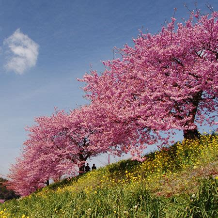 cherry tree kansas kwanzan flowering cherry trees for sale fast growing trees