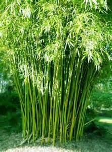 bamboo plants online bamboo plant for all seasons