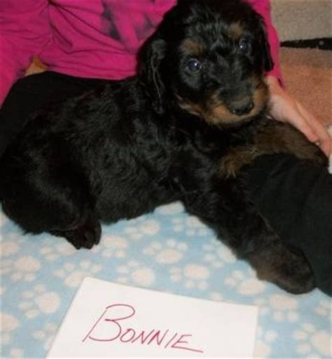 rottweiler poodle mix puppies d poodles and rottweiler mix on