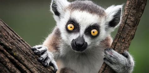 Flat Home Design by 30 Fun Facts About Lemurs The Fact Site