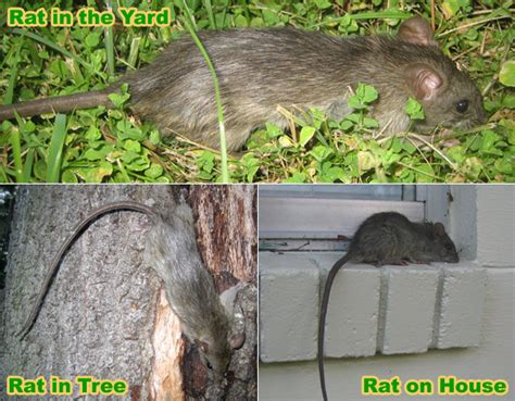rats in my backyard 28 images handling roof rats rats