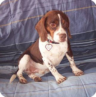 bench beagle johnny bench beagle adopted dog mcarthur oh beagle