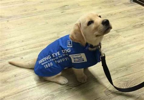 how to seeing eye dogs sunday s and aww a seeing eye on his day of viralspell