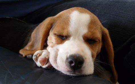 beagle background   pixelstalknet