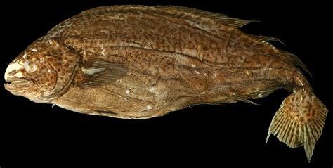 Icosteus aenigmaticus (Ragfish) : Specimen Photo: SIO 99-95