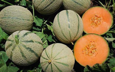 coltivare meloni in vaso coltivare melone guida per principianti
