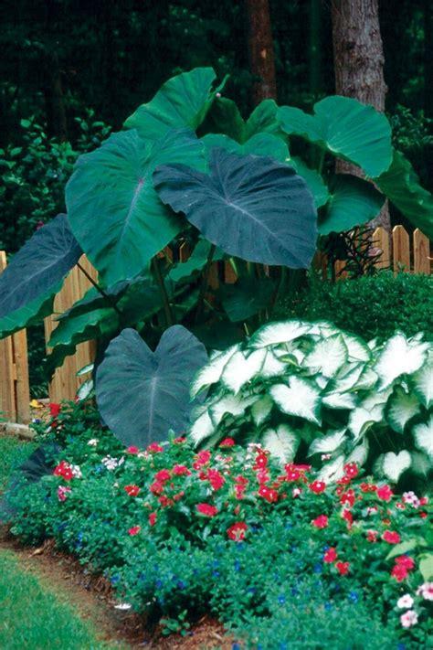 Garten Pflanzen Setzen by Elefantenohr Pflanze Und Die Pflege Die Sie Braucht