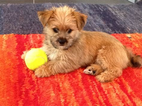 yorkie apso yorkie apso puppies breeds picture