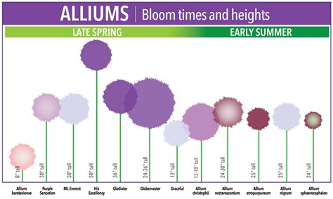 bloom time chart for allium bulbs longfield gardens