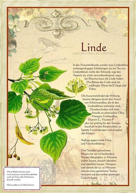 Linde Garten Pflanzen by Linde Http Www Kraeuter Verzeichnis De Heilkr 228 Uter