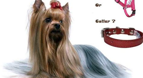 collars for yorkies looking for the best yorkie harness or collar yorkiemag