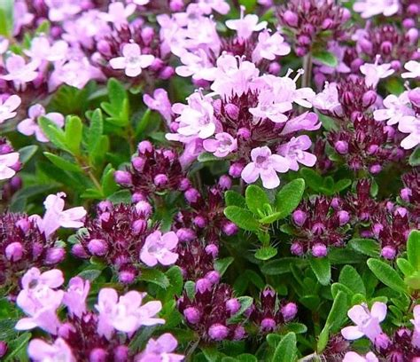17 best images about zone 9 perennials on pinterest