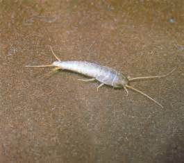 bathroom bugs silverfish