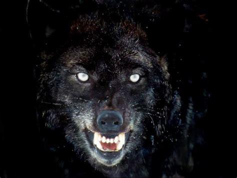 wallpaper dark wolf dark wolf wallpaper wallpapersafari