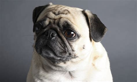 pug breathing problems to consider tv comeback for crufts show and style the guardian