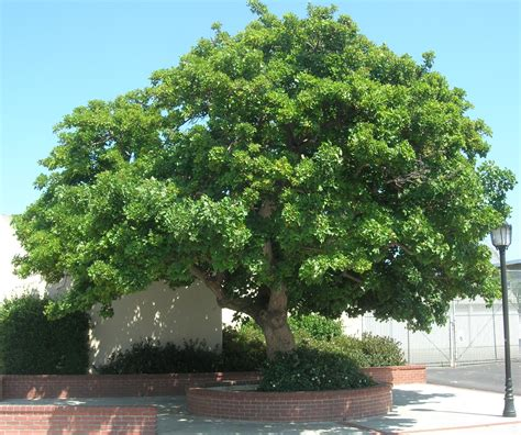 names of shade trees 28 images great shade trees for landscape designs pinterest the