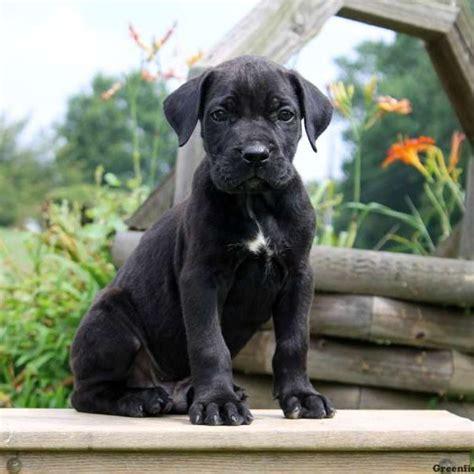 presa canario puppies for sale in pa presa canario puppies for sale greenfield puppies