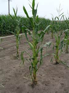 early season light quality affects corn growth and yield