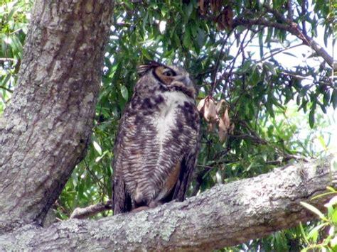 owl sigting in florida