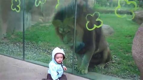 imagenes de leones romanticos leon quiere atacar al bebe animal divertido animal