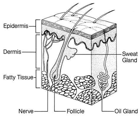 skin diagram skin organ diagram labeled skin free engine image for