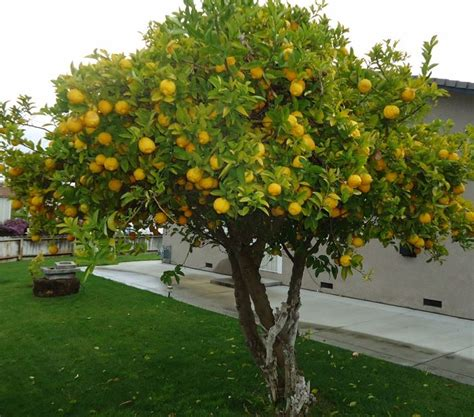 Backyard Lemon Tree by 45 Best Images About Trees On Azadirachta