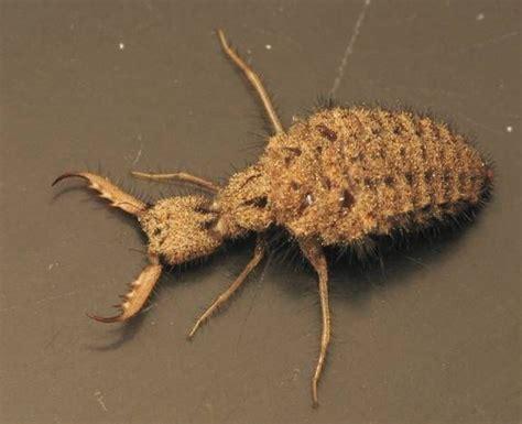 doodlebug insect larvae myrmeliontidae antlion larva dig pits in sand and bury
