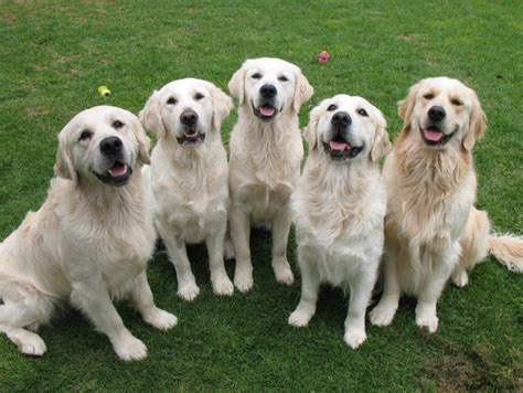 golden retrievers australia standndeliva golden retrievers nsw australia
