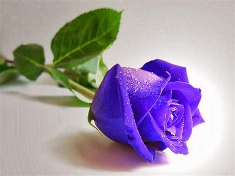 Bunga Mawar Alam Indah mawar melur bunga mawar biru yang indah