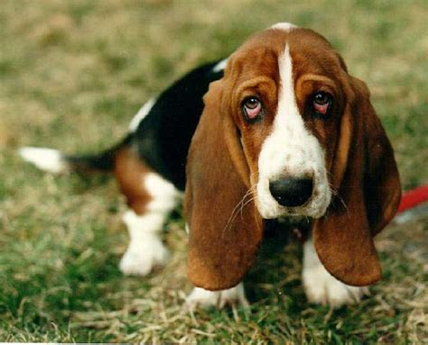 bassett hound puppies basset hound puppies pictures diet facts habitat behavior animals adda