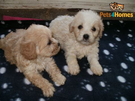 poochon puppies for sale maltipoo puppies 4 sale apricot puppy breeders iowa polyvore breeds picture
