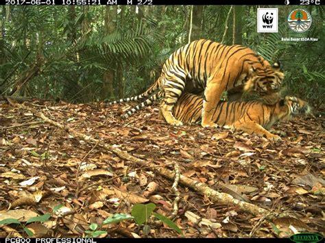 Harimaun Sumatera melihat strategi dan rencana aksi konservasi harimau