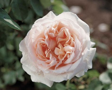 bett rosa flower facts roses named after grower